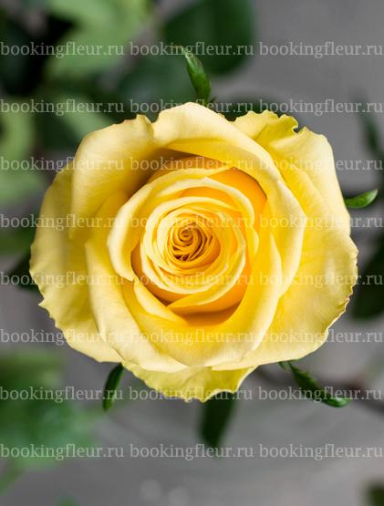 Классическая роза Stardust