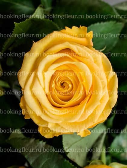 Классическая роза Super Sun