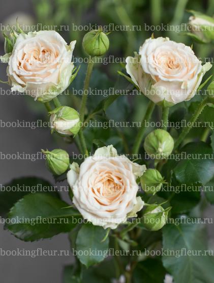 Кустовая роза Tanja