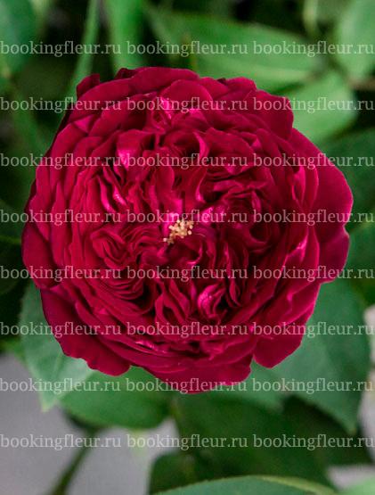 Пионовидная роза David Austin Tess