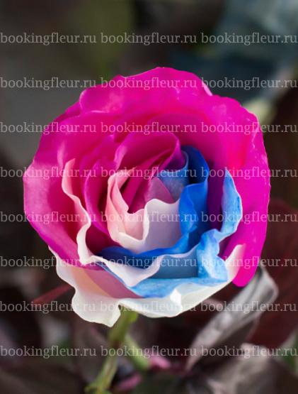 Классическая роза Tinted Liberty