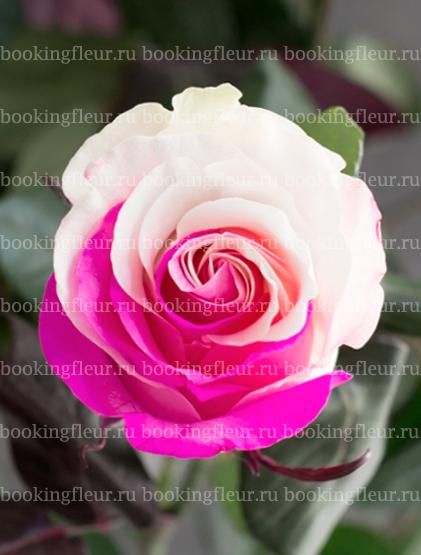 Классическая роза Tinted Pink Candy