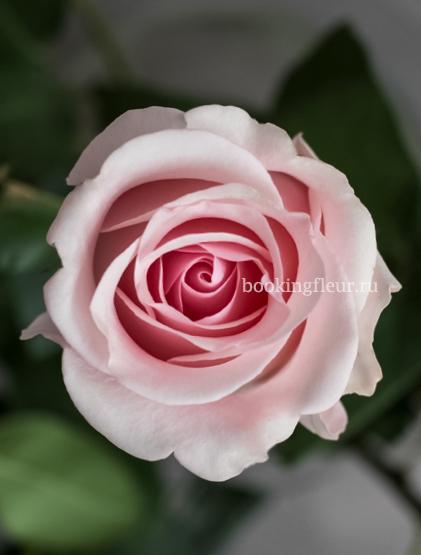 Розовая эквадорская роза Titanic