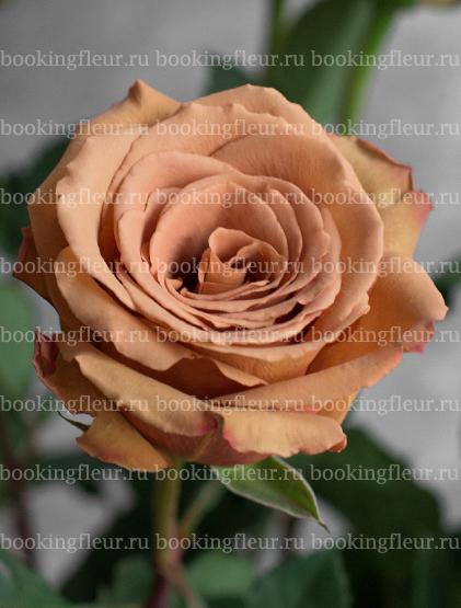 Классическая роза Toffe