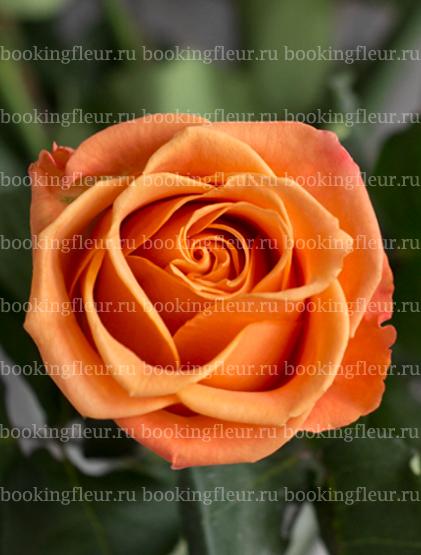 Классическая роза Tropical Crush