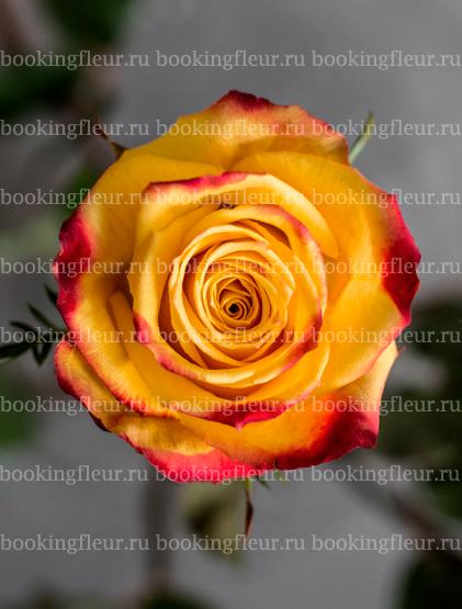 Классическая роза Tutti Frutti