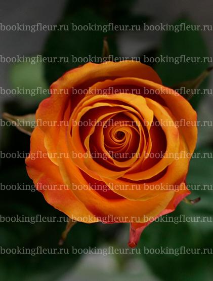Классическая роза Tycoon