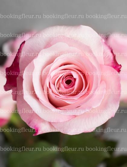 Классическая роза Vania
