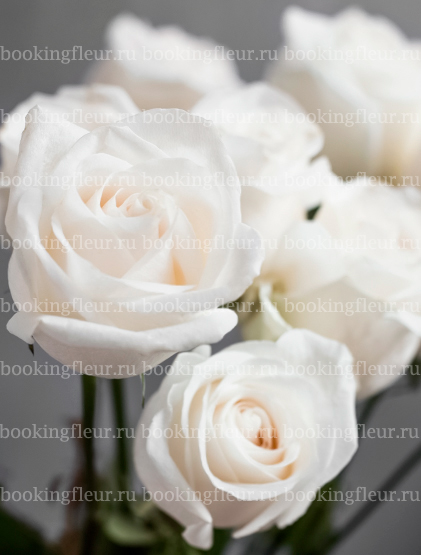 Классическая роза Vendela