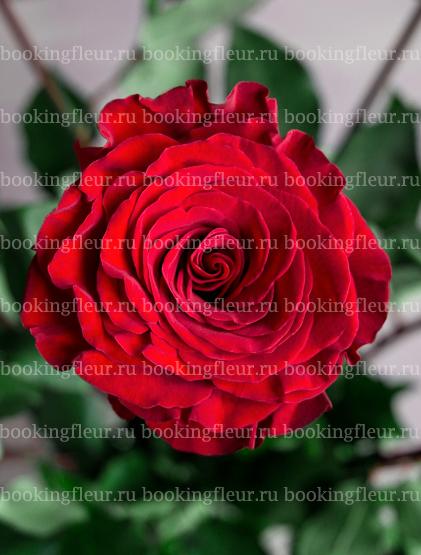 Пионовидная роза Wanted