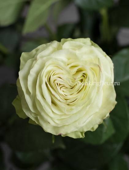 Зеленая эквадорская роза Wasabi