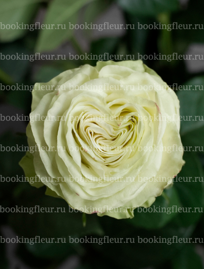 Классическая роза Wasabi