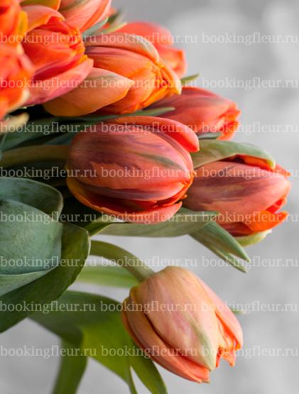 Тюльпан Hermitage