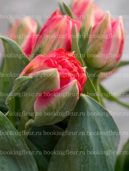 Тюльпан Pamplona