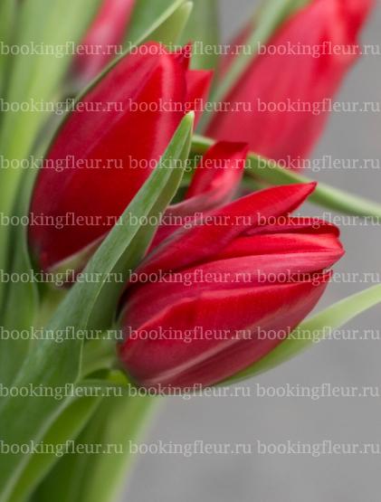 Тюльпан Ruby Red