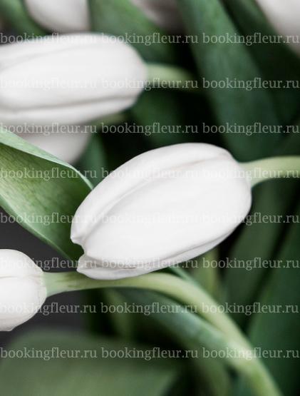 Тюльпан Silentia
