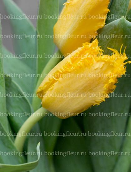Тюльпан Yellow Valery