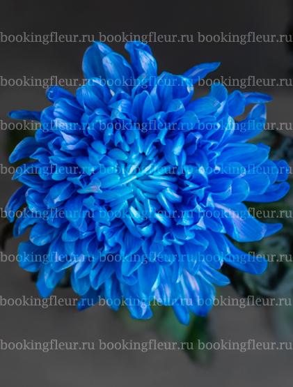 Хризантема Antonov Blue