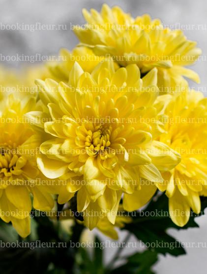Хризантема Baltika Yellow