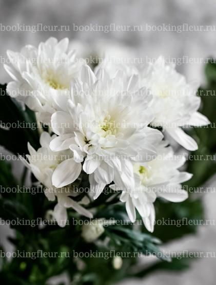 Хризантема Baltika