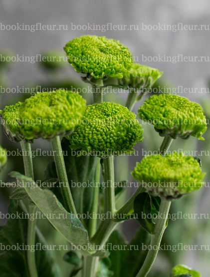 Хризантема Code Green