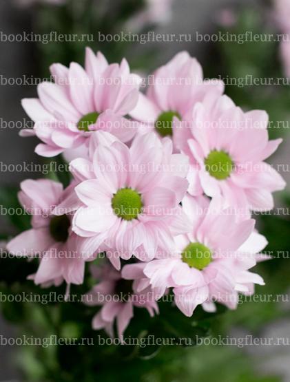 Хризантема Grand Pink