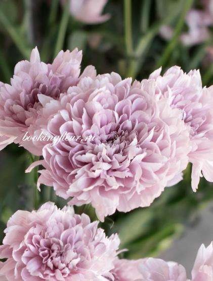 Хризантема Kalimba Pink