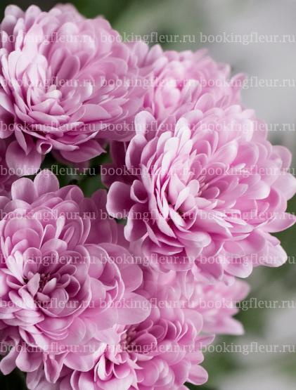 Хризантема Macaron