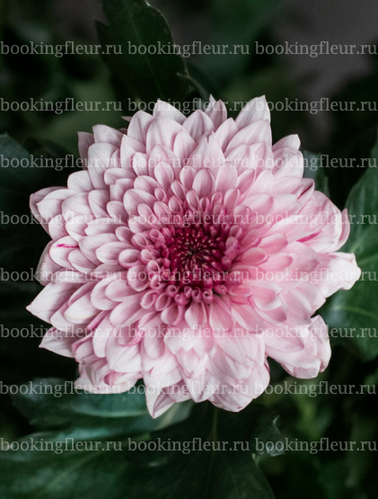 Хризантема Pip Pink