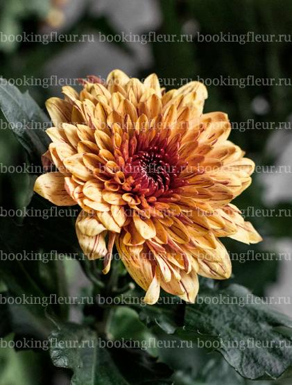 Хризантема Pip Yellow