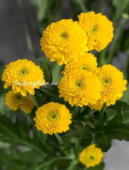 Хризантема Santini Aurinko