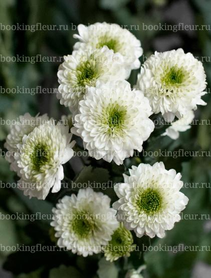 Хризантема Santini Fleurelles White