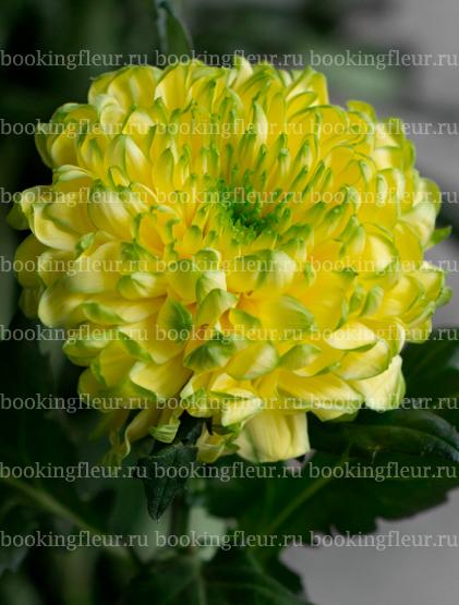 Хризантема Zembla Lime